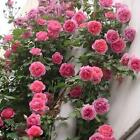 100pcs Rose red Climbing Rose Seeds Perennial Flower Garden Decor Plant Seed !!