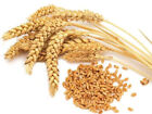 WHEAT Organic seed Non-GMO NEW Hairloom Seeds 50-500 Free Shipping ! From US
