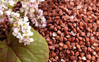 BUCKWHEAT Organic seed Non-GMO NEW Seeds 50-500 Free Shipping ! From US