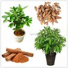 Cinnamon Dwarf Trees Seeds Bonsai Tree Seeds Home Garden Planting DZ88 01