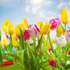 Tulip Luck Mixture Bulbs Spring Time Favorites Bulb Collection Plant Seed Flower