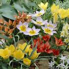 Tulip bulbs Little Treasures Collection Gardening Garden Plant Seed House Flower