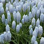 Grape Hyacinth Fragrant Valerie Finnis Large Bulb Home Ground Cover Flowers Seed