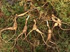 Fresh PA Wild American Panax Ginseng Rootlets For Replanting! 5-10+ Years Old! $19.99 USD on eBay