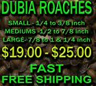 DUBIA ROACHES - small,  medium, large - FAST FREE  SHIPPING FROM ATLANTA