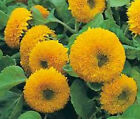 SUNFLOWER TEDDY BEAR Helianthus Annuus Bulk Flower Seeds + Free Seeds