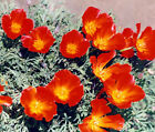 CALIFORNIA POPPY RED Eschscholzia Californica Bulk Flower Seeds + Free Seeds