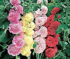 HOLLYHOCK CHATER'S DOUBLE MIX Alcea Rosea Bulk Flower Seeds + Free Seeds