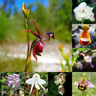 20pcs Colorful Flying Duck Orchid Caleana Flower Seeds Bonsai Garden Plant Seeds