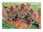 Tiger Cubs Mini Print 40x30cm