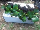 Water Hyacinth Plants for KOI ponds and Fish Tanks Size Options