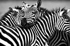 Black And White African Zebra Family Quality Poster Print Modern Art Photo Paper