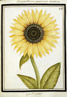 """ANONYMOUS """"Le Grand Soleil. Sunflower"""" print NEW choose SIZE, from 55cm up, NEW"""