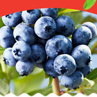 Sweet Bonsa Organic Seeds Blueberry Fruit Seeds Vegetable 100-200pcs Pack Seed