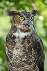 Great Horned Owl/ Animal Photography / Wall Art / Owl Photography