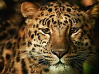 Leopard Canvas Pictures Animal Wild Cat Close Up Face Wall Art Prints All Sizes