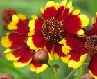 Coreopsis, Tall Plains Coreopsis Flower Seeds - Fresh and Hand Packaged