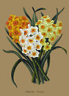 Polyanthus Narcissus (1) - botanical flower print in 3 sizes