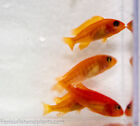 "Pseudotropheus sp.red zebra ""cherry red"" 1.25 in Cichlid FREE OVERNIGHT SHIPPING"