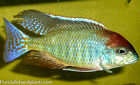 "Red Cap Lethrinops ""Itungi"" African Cichlid, 1.5 in FREE OVERNIGHT SHIPPING"