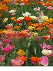 Poppy, California Mission Bells Mix Flower Seeds - Fresh and Hand Packaged