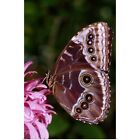 blue morpho butterfly reproduction - Poster Print Wall Art entitled Blue Morpho Butterfly On Flower