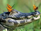 crocodile butterfly awesome Nature Wild Wall Print POSTER
