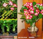 Adenium Obesum DESERT  ROSE  PLANTS -New Season VALENTINE'S -BI-Color F2