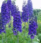 Delphinium Black Knight Perennial potted plants - Great for Cutting Gardens