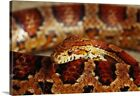 Solid-Faced Canvas Print Wall Art entitled Calilfornia Corn Snake (Elaphe