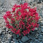 Outsidepride Rock Purslane Herb Seeds