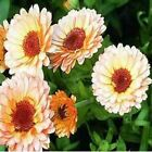 Outsidepride Calendula - Pink Surprise