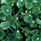 Outsidepride Winter Purslane Herb Seeds