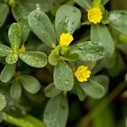 Outsidepride Purslane Herb Seeds
