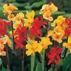 Outsidepride Canna Lily Flower Seeds