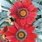 Outsidepride Gazania Kiss Frosty Red Flower Seeds