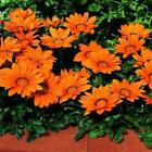 Outsidepride Gazania Kiss Orange Flower Seeds