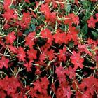 Outsidepride Nicotiana Crimson Bedder Flower Seeds