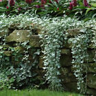 Outsidepride Dichondra Silver Falls Ground Cover Seed