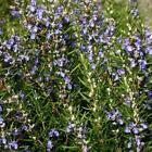 Outsidepride Rosemary Herb Seeds