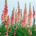 Outsidepride Foxglove Apricot Flower Seeds
