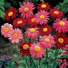 Outsidepride Chrysanthemum Robinson's Mix Flower Seeds