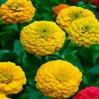 Outsidepride Zinnia Elegans Lilliput Yellow Flower Seeds
