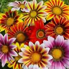 Outsidepride Gazania Garden Leader Striped Mix Flower Seeds