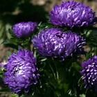Outsidepride Aster Milady Blue Flower Seeds