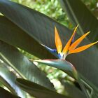Outsidepride Bird of Paradise Flower Seeds