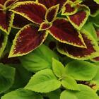 Outsidepride Coleus Under The Sun Flower Seeds
