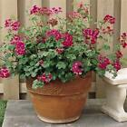 Outsidepride Ivy Leaf Geranium Fuschia Flower Seeds