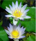 5 pcs/bag Bonsai flower Victoria Amazonica Giant Water Lily Lotus seeds