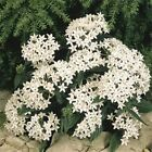 Outsidepride Pentas White Flower Seeds